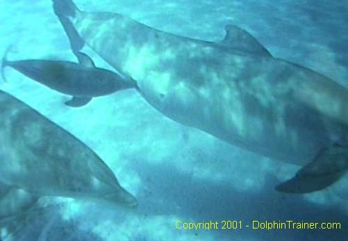 Dolphins Bottlenose Dolphin Species Profile Tursiops Truncatus